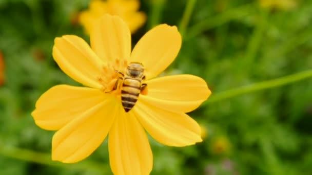 létající včely nektar v kosmu květiny, full hd.