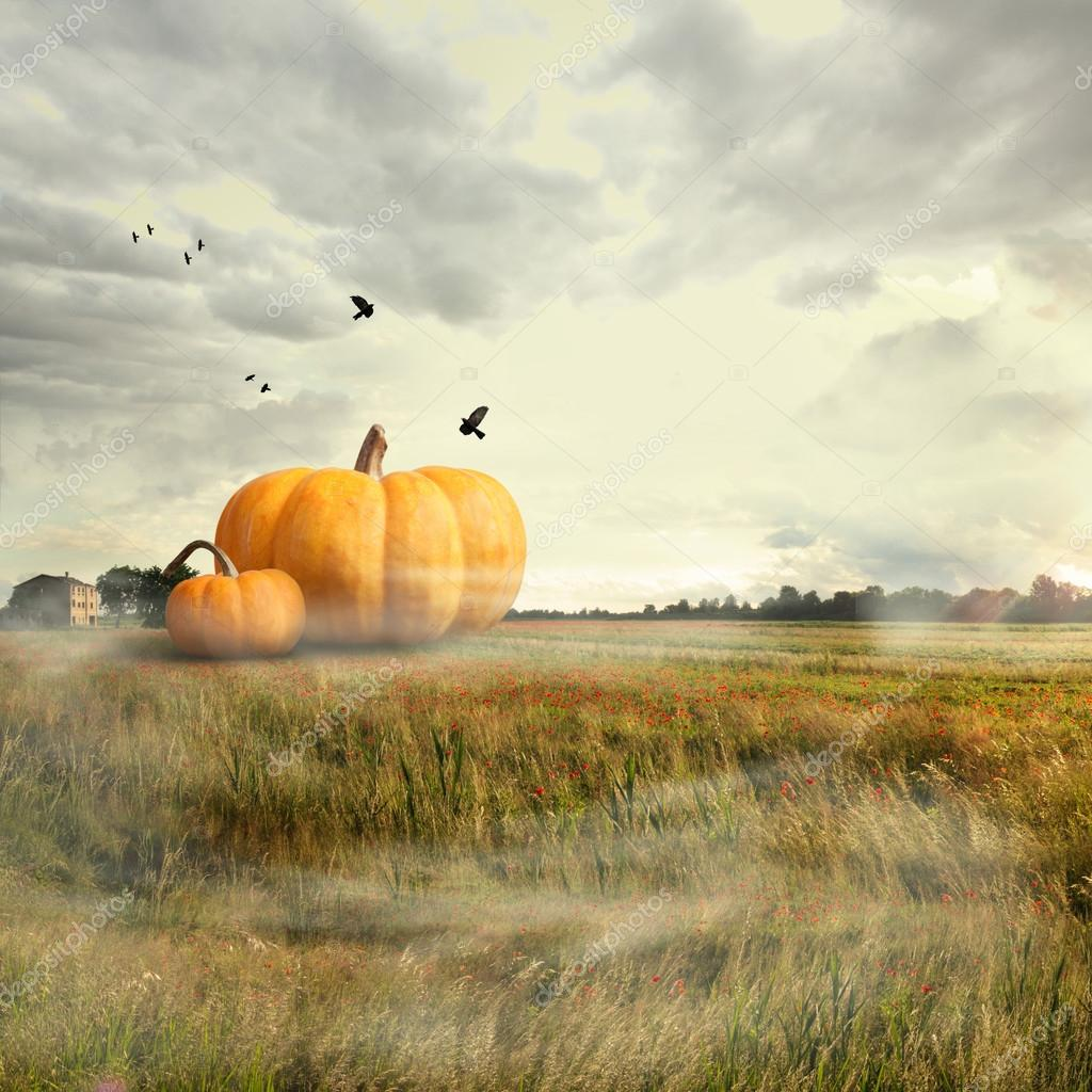 Big pumpkins in a field, halloween time