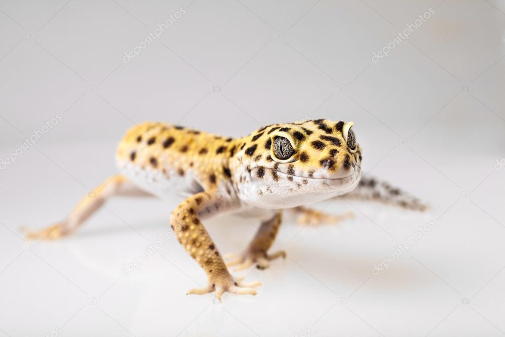 Leopard Gecko Lizard Stock Photo C Baranov Evgenii 49015855