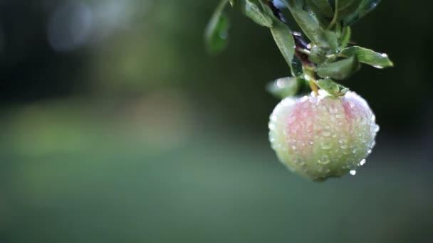 Zavřít záběr jablka na větev v dešti.