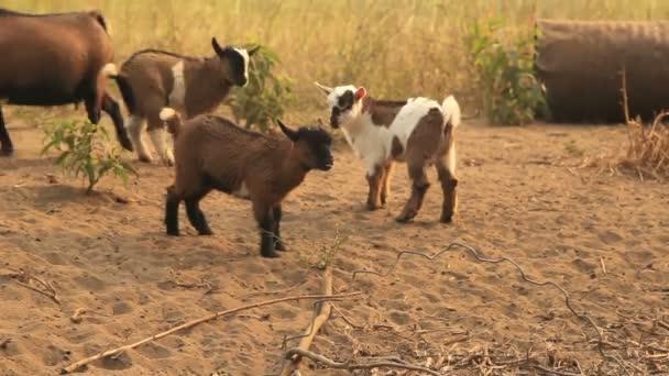 Little goat kids playing around.