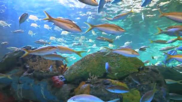 yellowtailed snapper a dalších tropických ryb koupání v korálový útes