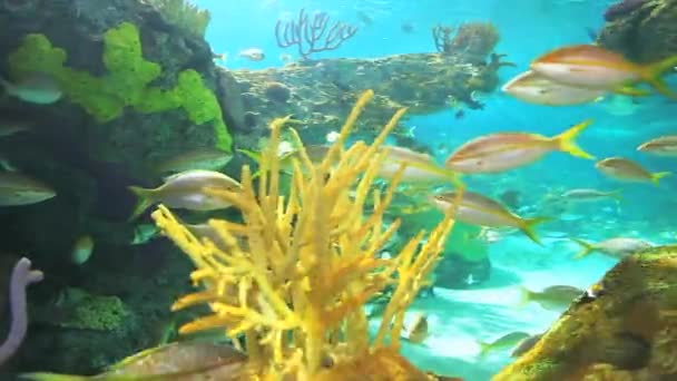 A coral reef with Yellowtailed Snapper and other tropical fish swimming