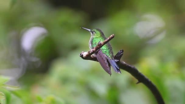 zelenou korunován geniální, heliodoxa jacula, v Kostarice