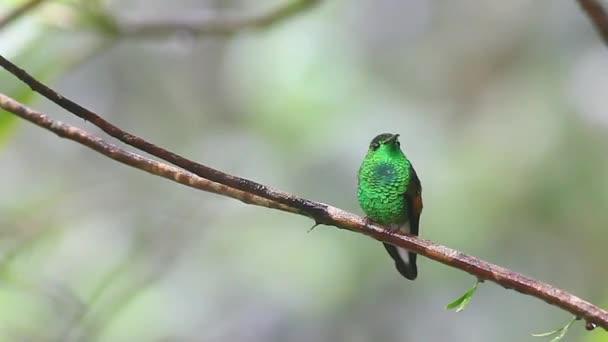 proužek sledoval kolibřík, eupherusa eximia, Vysočině costa rica