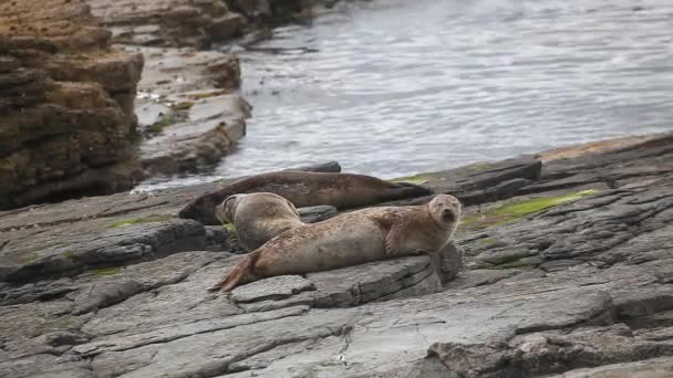 Grey Seals loafing on a rocky shore.