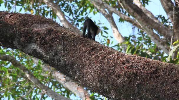 Wild White-faced Capuchin monkeys walking along a huge branch