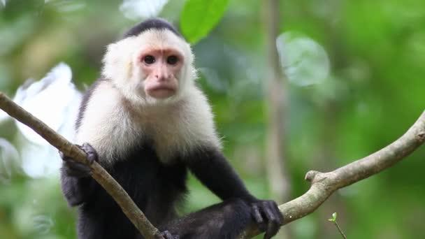 Wild White-faced Capuchin (Cebus capucinus) relaxs grooming