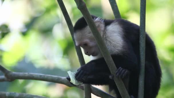 divoké bledou tváří Kapucín (cebus capucinus) opice jíst