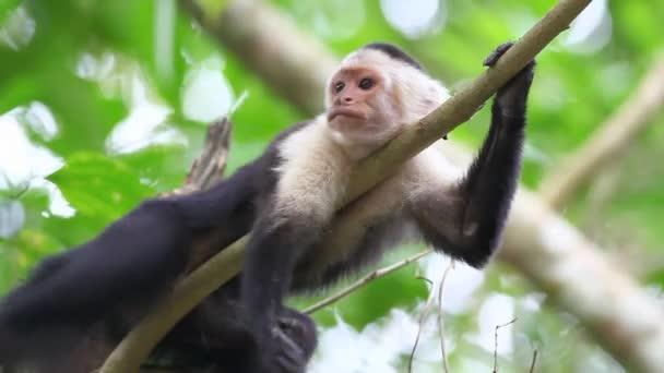 Wild White-faced Capuchin (Cebus capucinus) monkey preening