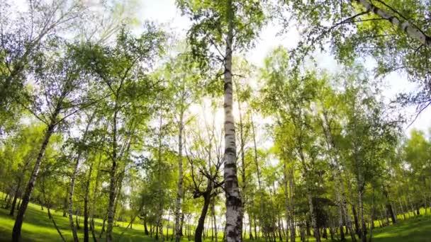 březový les time-lapse pozadí v západu slunce v létě