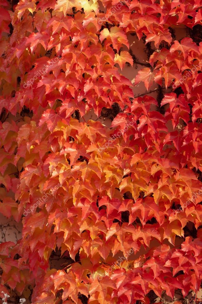 Pianta rampicante con foglie rosse foto stock skystorm for Pianta con foglie rosse