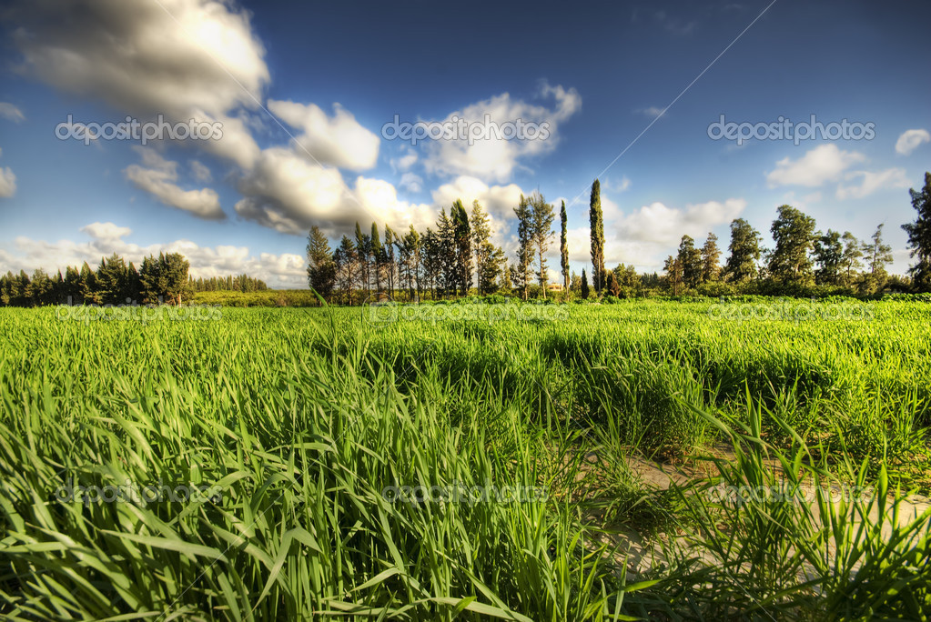 Green grass in the field