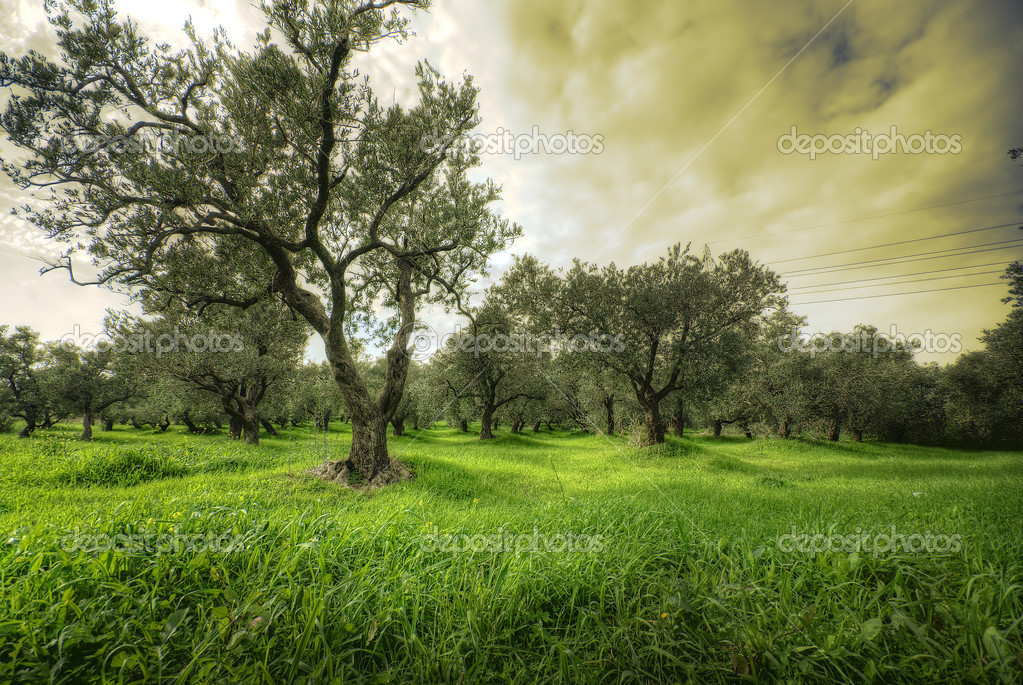 Olives tree in a green field and dramatic sky