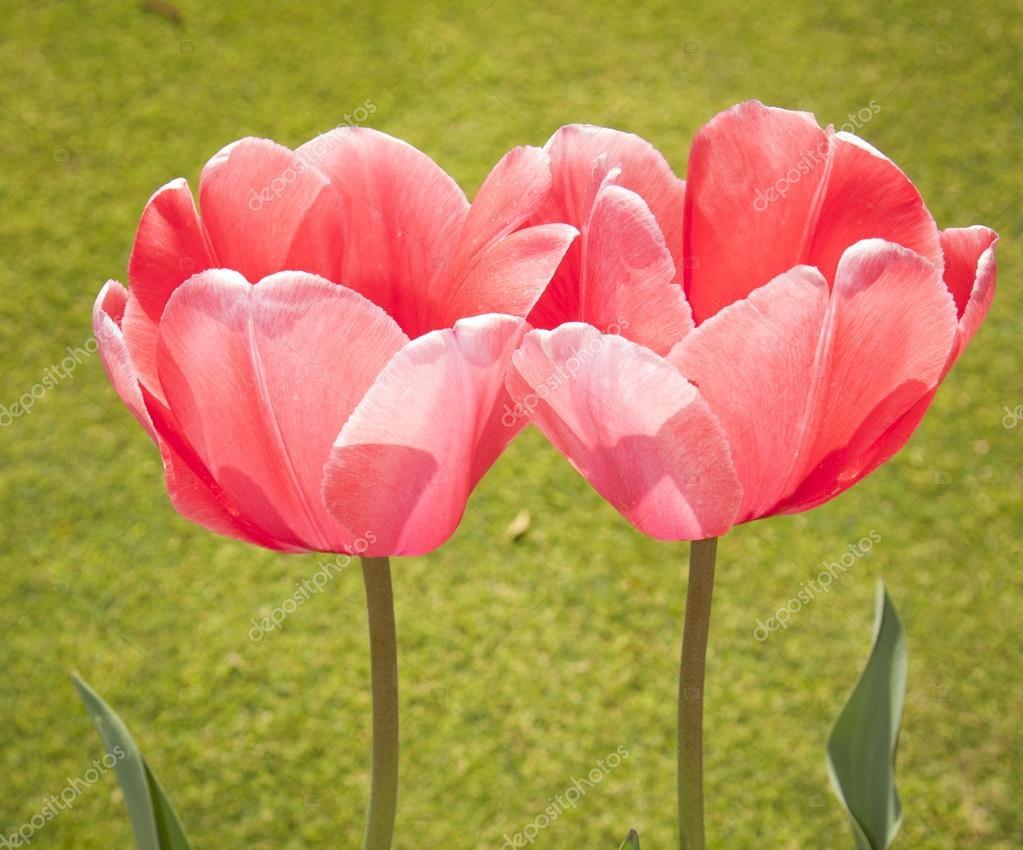 Beauty of Tulip Flowers