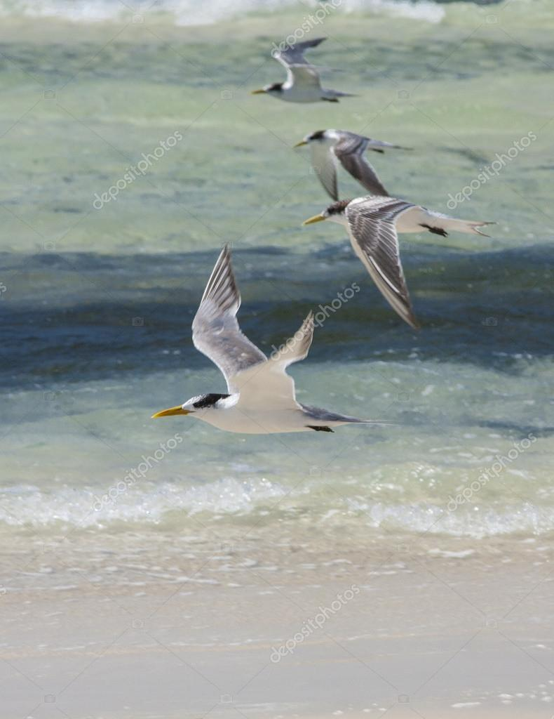 Sea Gulls in Jervis Bay
