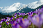 Photo carpet of blooming crocuses in chocholowska valley in tatra moun