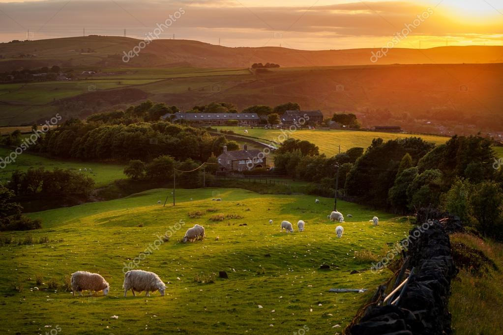 Sheep grazing in Peak  District England