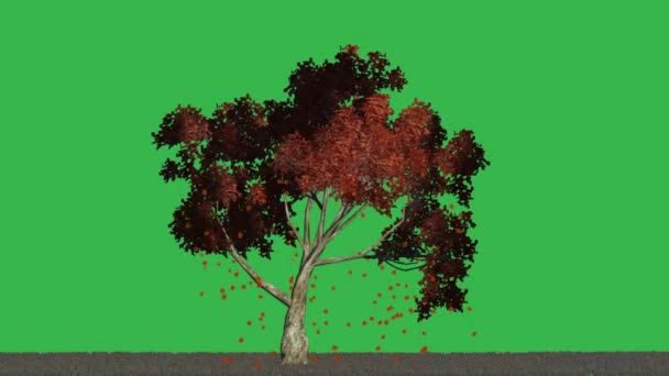 Autumn leaves falling from the tree - green screen