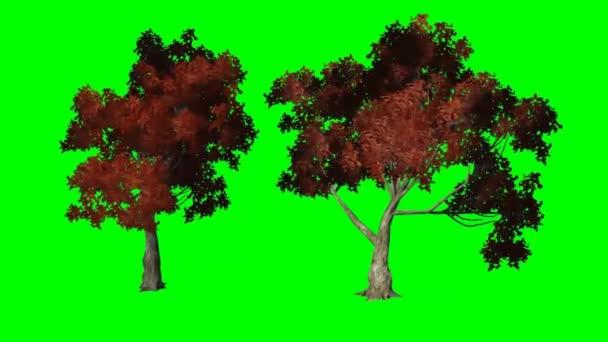 červený javor se pohybuje ve větru - zelená obrazovka
