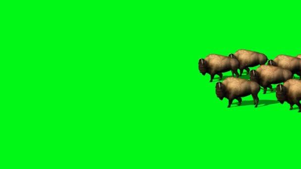 Bison herd moves past - green screen