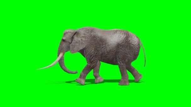 Elephant walking - green screen