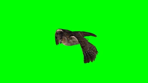 Eule fliegt - green-screen