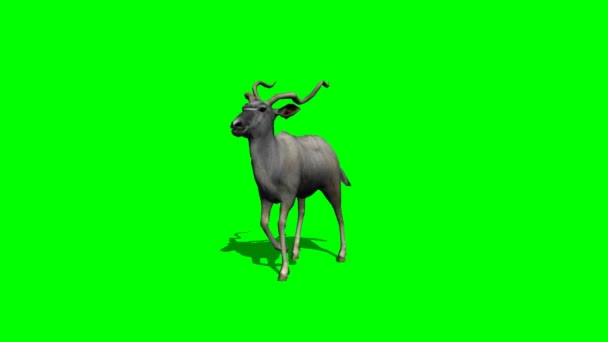 Kudu Antilope walking - green-Screen