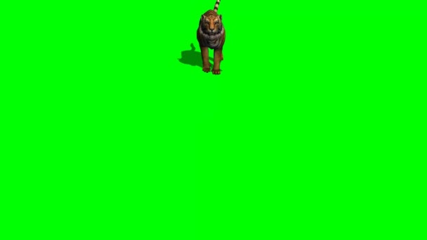 Tiger attac on green screen