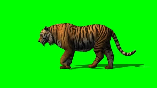 Tiger walks on green screen