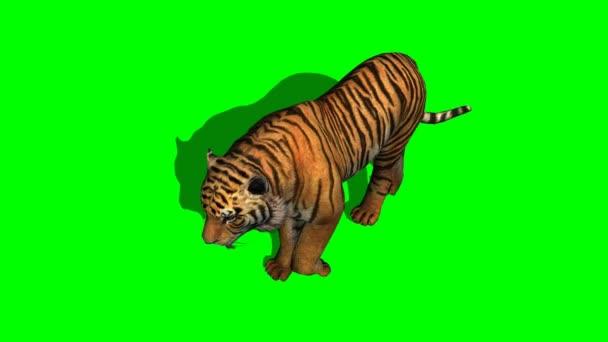 tigris sétál a zöld képernyő