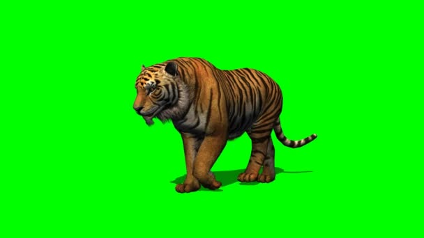 Tiger walks on green screen
