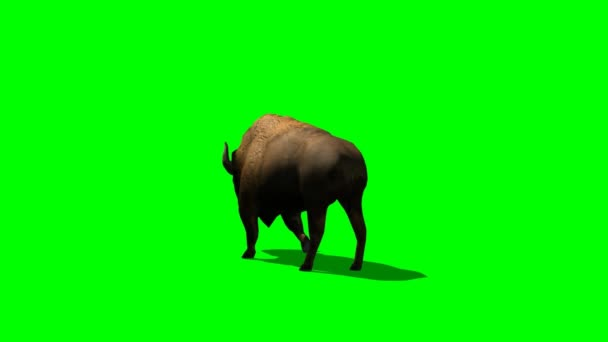 American Bison in motion - green screen