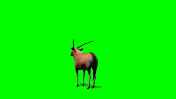 Spießbock Antilopen steht und schaut sich um - green-screen