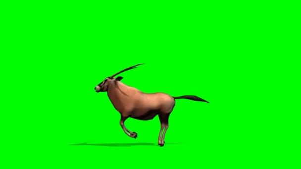 Spießbock Antilopen Pisten - green-screen