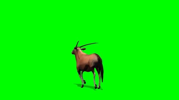 Spießbock Antilopen Trots - grüner Bildschirm