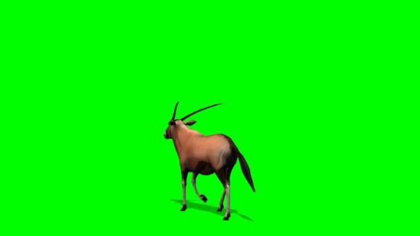 Spießbock Antilopen Spaziergänge - green-screen