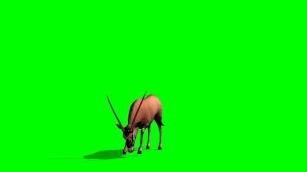 Spießbock Antilopen grasen - green-screen