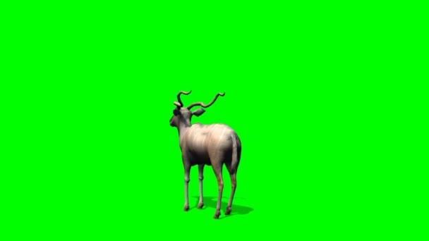 Kudu Antilopen steht und schaut sich um - green-screen