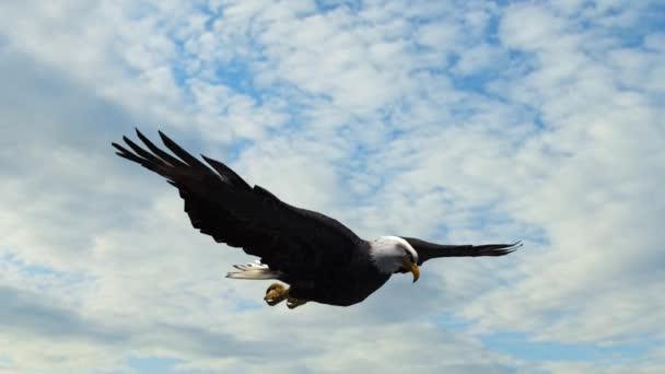 Orel bělohlavý v letu detail