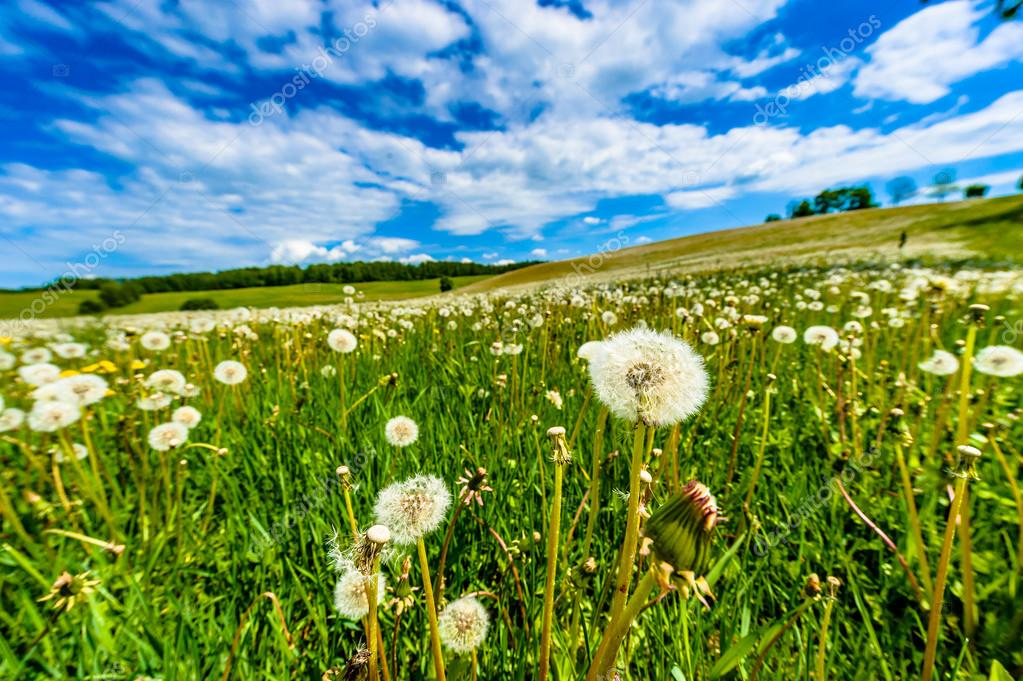 Blow-balls, dandelions in meadow with blue sky and white clouds