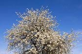 Fotografie große Obstbaum blüht in weißen Blüten