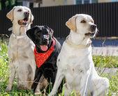tři pes štěňata zlatého retrívra.