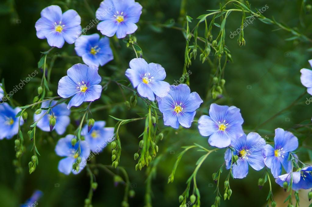 Blue flax flowers