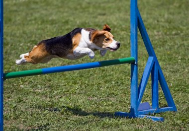 Beagle flying over an obstacle