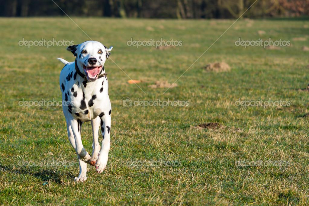 Dalmatiner im Lauf