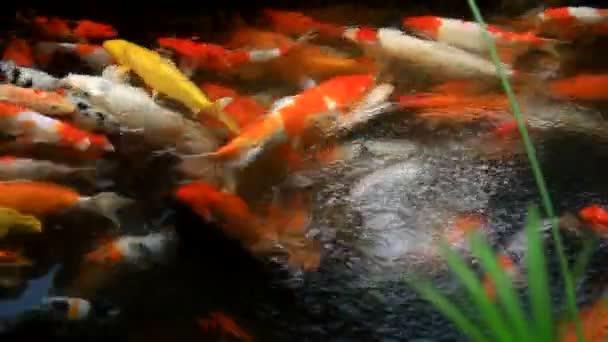 Koi kapry ryby