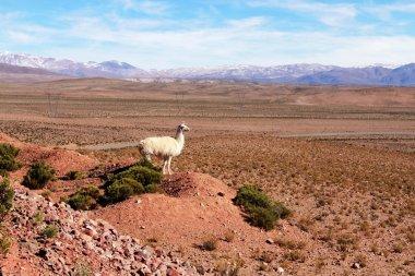 Llama, South American camelid in a beautiful landscape