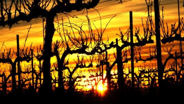 Vineyard Sunset.