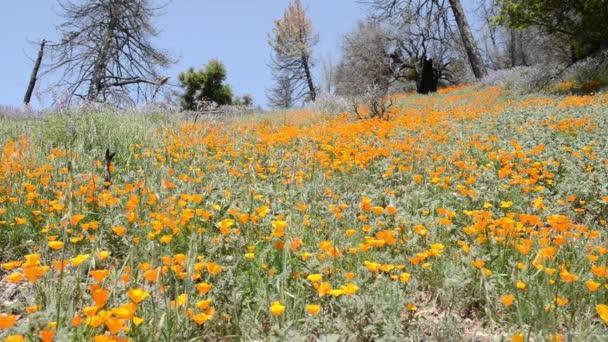 Kalifornie kytice